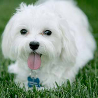 white-puppy_large_edit