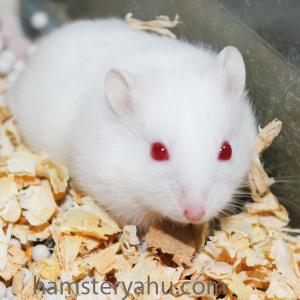 Hamster Albino