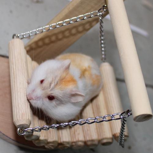 Hamster bò sữa vàng