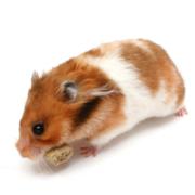 hamster-bear-bs-nau