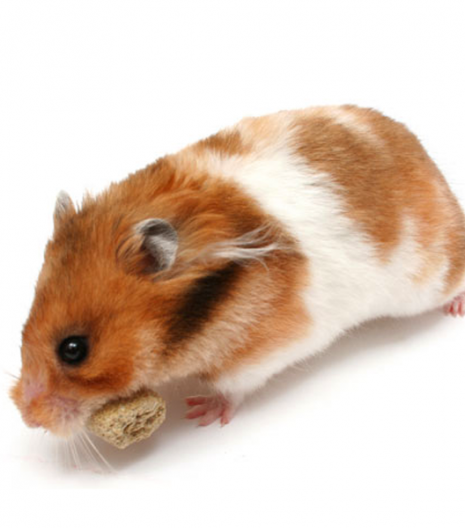 Hamster Bear Bò Sữa nâu