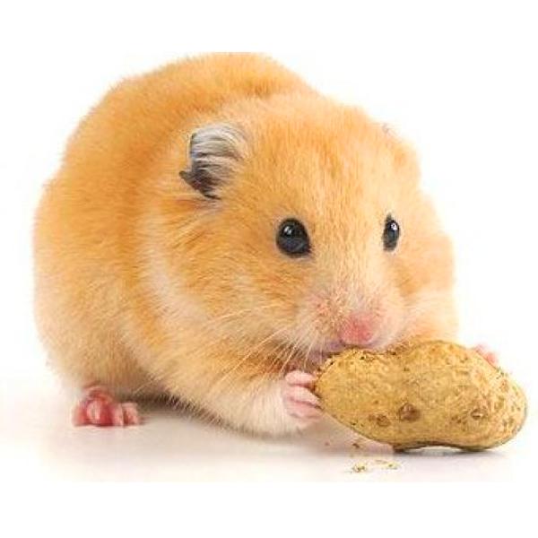 Hamster Bear Vàng Mơ