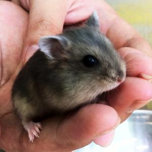 Hamster Saphia