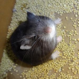 Hamster mè đen