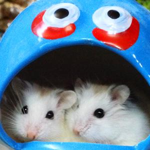 Hamster Robo Isabel