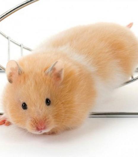 Hamster Bear Bò Sữa vàng