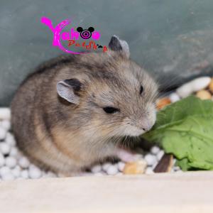 Hamster Sóc Campel
