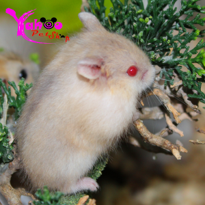 Hamster Trà Sữa Campel