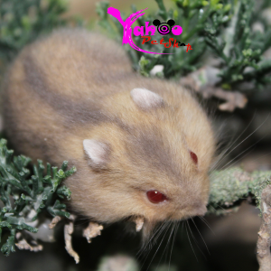 Hamster Trà Sữa Winter White