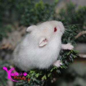 Hamster trắng sọc tím