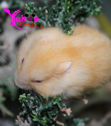 Hamster vàng chanh