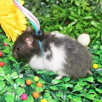 Hamster bear bò sữa đen