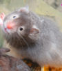 hamster bear mắt kinh