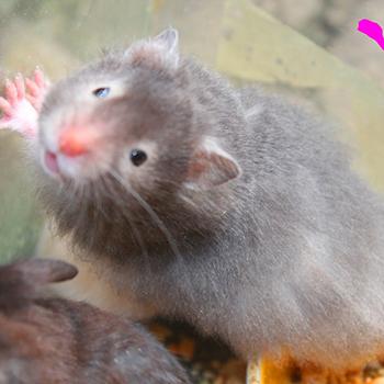 hamster bear mắt kính