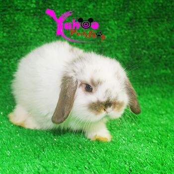Thỏ minilop