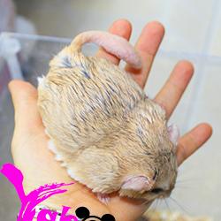 Hamster đuôi mập fattail