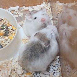 hamster robo pied
