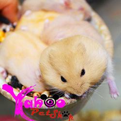 hamster bông lan