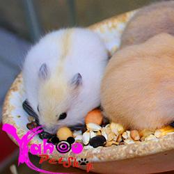 hamster-trắng sọc vàng
