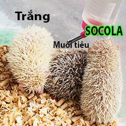Nhím Socola