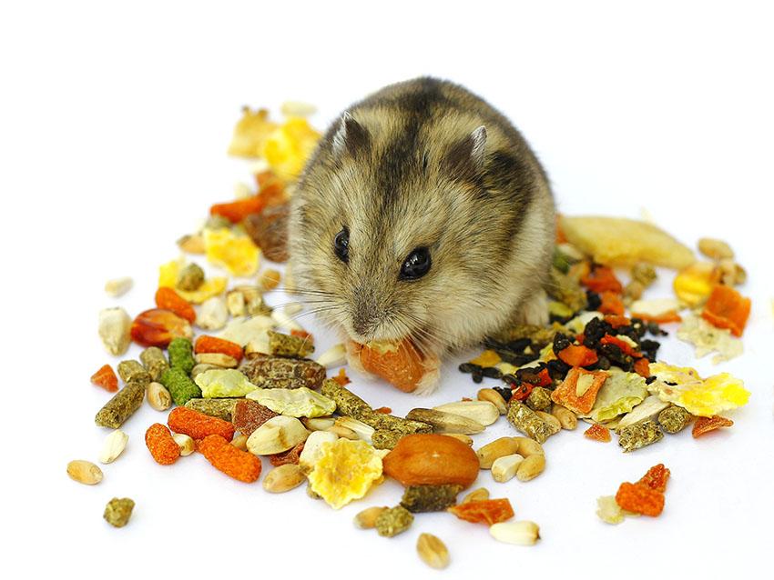 Hamster ăn gì?